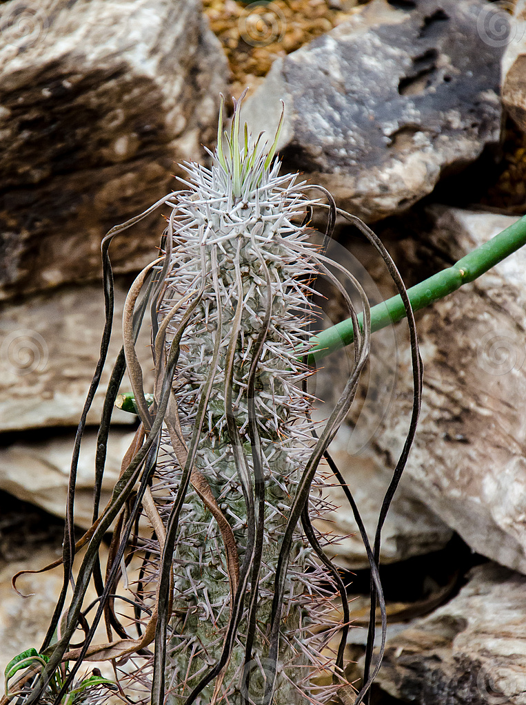Stock Photo: Southwest Madagascar Cactus