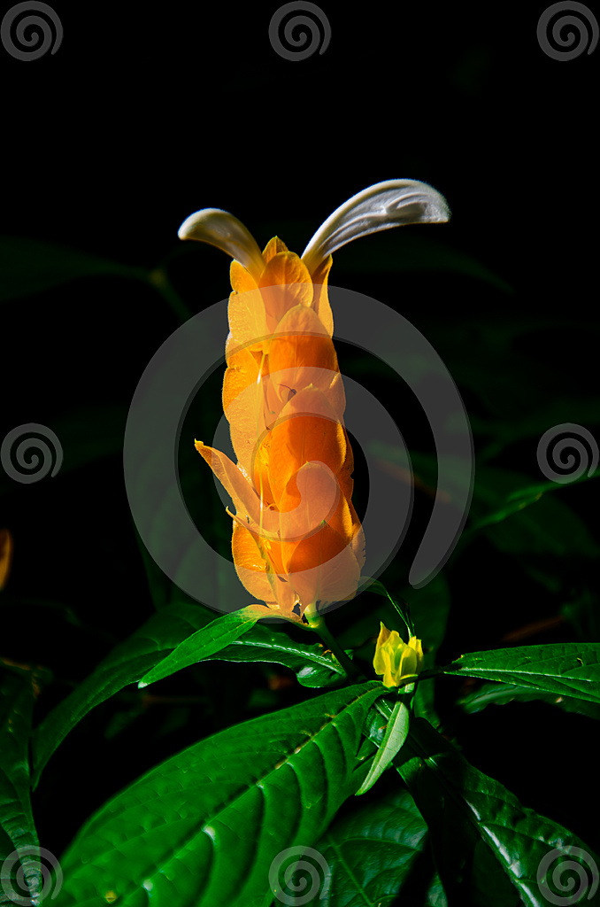 Stock Photo: Tropical Bud