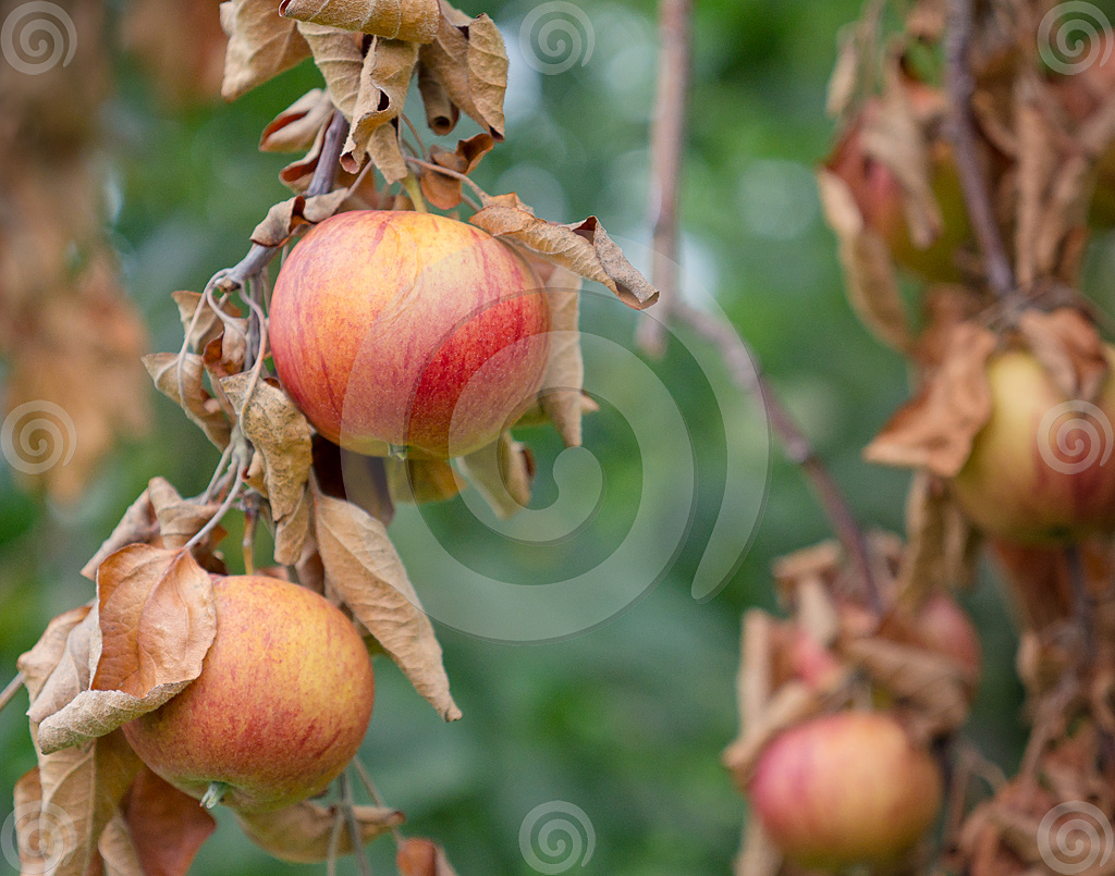 Stock Photo: Akane Apples