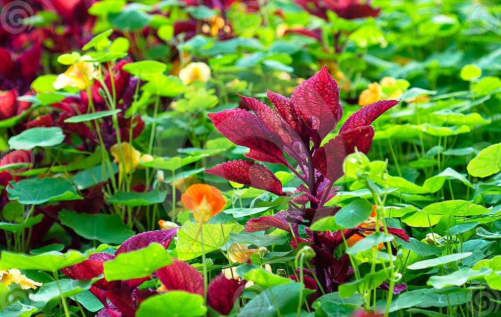 Stock Photo: Maroon Coleus Plant