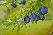 Stock Photo: Harvest Of Plums