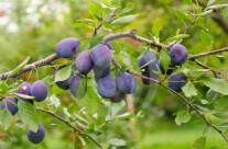 Stock Photo: Plum Tree