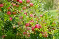 Stock Photo: Ripe Apples