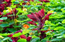 Stock Photo: Maroon Coleus Plant