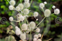 Stock Photo: Echinops Plant
